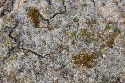 Witte grondschubben van zomersneeuw (Cladonia foliacea) bedekken een groot stuk duinzand van de Noordduinen bij Julianadorp