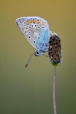 Icarusblauwtje (Polyommatus icarus) met gesloten vleugels rustend op een plant tijdens avond in het Zwanenwater bij Callantsoog.