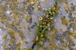 Bloeiend melkkruid (Glaux maritima) tussen met korstmossen bedekte keien van de Afsluitdijk bij Den Oever.