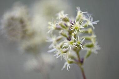 Groengele bloemen van oorsilene (Silene otites) in het zeedorpenlandschap van het Noordhollands Duinreservaat bij Egmond aan Zee
