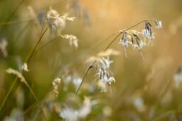 Warm licht van zonsondergang schijnt op witte bloemen van nachtsilene (Silene nutans) in het Noordhollands Duinreservaat bij Wijk aan Zee