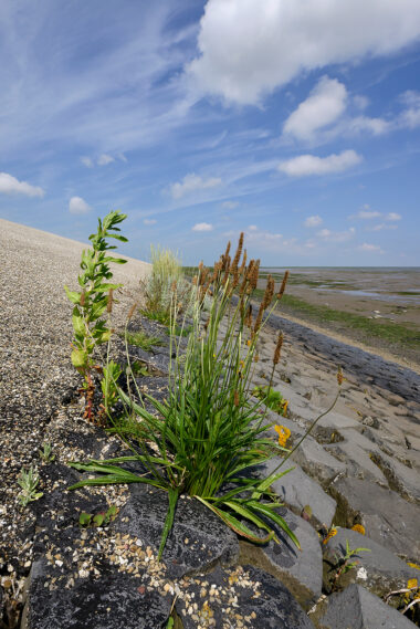 Zeeweegbree (Plantago maritima) tussen de keien tijdens laagwater aan de voet van de waddenzeedijk op het eiland Texel.