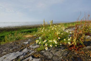 Reukeloze kamille (Tripleurospermum maritimum) tussen de stenen van een dijk aan de rand van de Waddenzee op het voormalige eiland Wieringen.