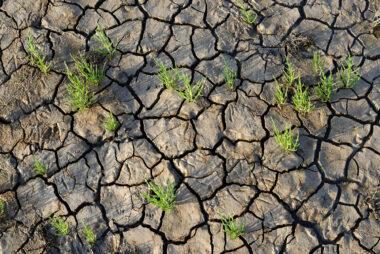 Groene plantjes van zeekraal (Salicornia) op het slik van drooggevallen wad langs de kust van Wieringen in de kop van Noord-Holland.