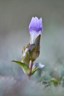 Korte steel en paarse bloem van veldgentiaan (Gentianella campestris) in een natte duinvallei in het Noordhollands Duinreservaat bij Egmond.