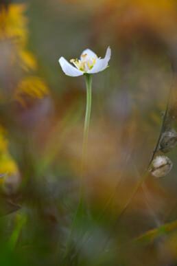 Stengel en witte bloem van parnassia (Parnassia palustris) tussen verkleurde planten van een natte duinvallei in het Noordhollands Duinreservaat bij Heemskerk.