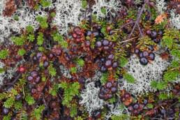 Zwarte, ronde bessen van kraaihei (Empetrum nigrum) tussen rendiermos op de duinheide van de Schoorlse Duinen
