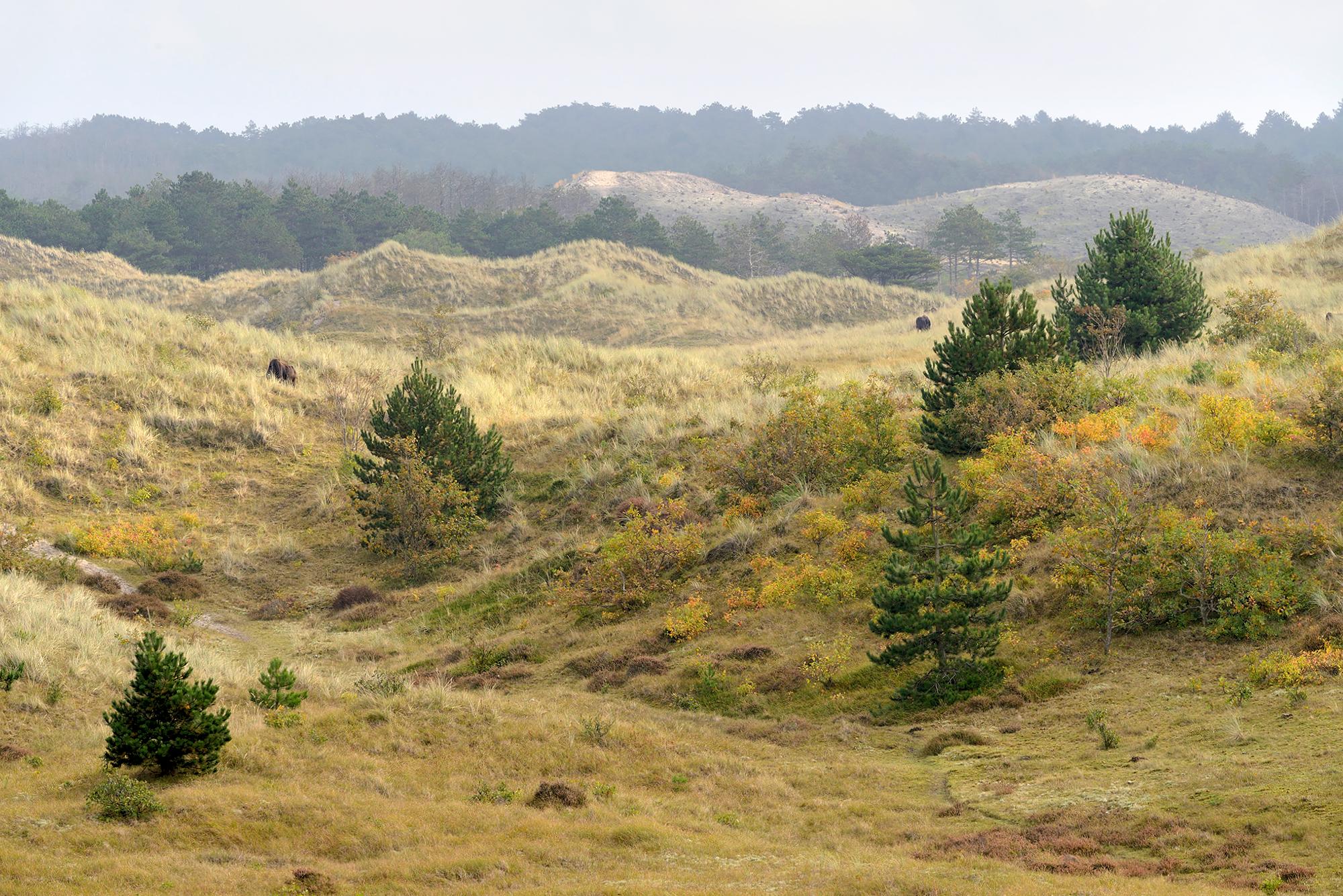 Uitzicht over de duinhellingen en naaldbomen van de Schoorlse Duinen bij Groet