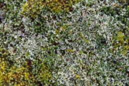 Verzameling van mossen op duinzand in het Nationaal Park Duinen van Texel bij Den Hoorn