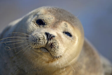 Portret van jonge, zonnende zeehond (Phoca vitulina) op de dijk bij De Cocksdorp op het waddeneiland Texel.
