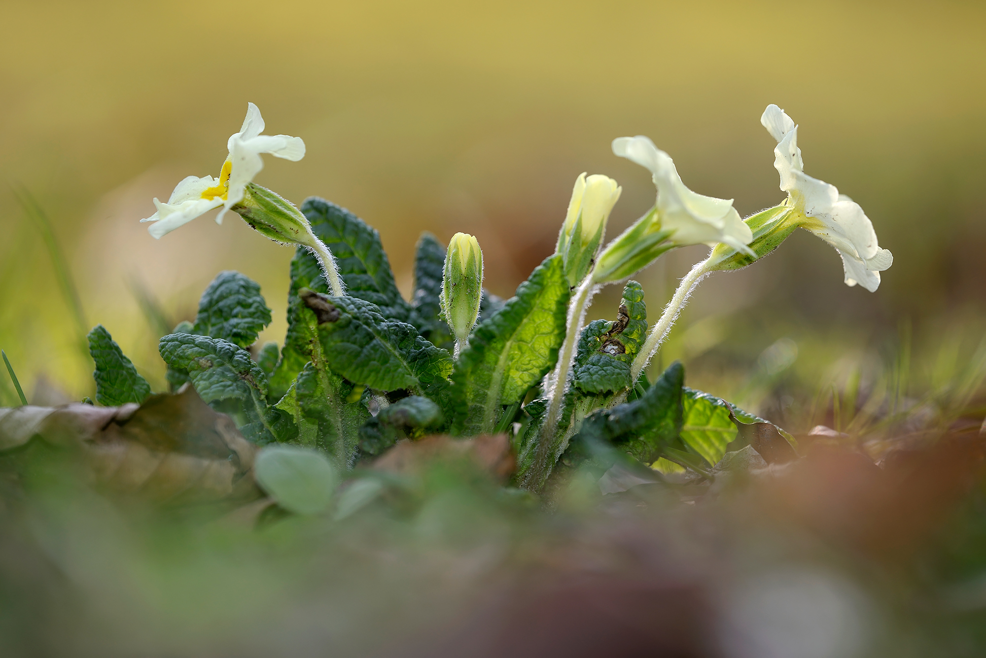 Blad, behaarde stengels en geelwitte bloemen van stengelloze sleutelbloem (Primula vulgaris) in het bos tijdens lente op Landgoed Elswout in Overveen.