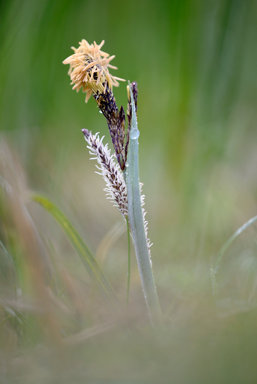 Bloeiende scherpe zegge (Carex acuta) aan de rand van het duinmoeras van het Zwanenwater bij Callantsoog