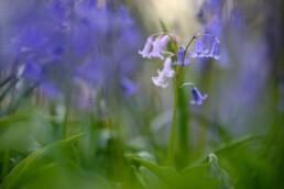 Blauwe en roze bloemen van boshyacint (Scilla non-scripta) in het duinbos van het Noordhollands Duinreservaat bij Heemskerk.