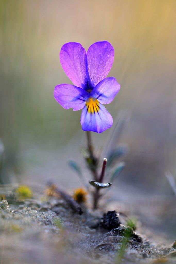 Stengel en paarsblauwe bloem van duinviooltje (Viola curtisii) in tegenlicht op zanderige duinhelling in de Amsterdamse Waterleidingduinen