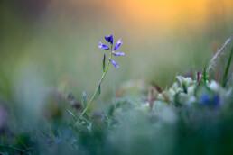 Stengel en blauwe bloemen van gewone vleugeltjesbloem (Polygala vulgaris) tussen het gras van natte duinvallei in het Noordhollands Duinreservaat bij Wijk aan Zee.