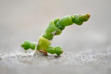 Kortarige zeekraal (Salicornia europaea) op opgedroogd zand tijdens laagwater in De Slufter van het Nationaal Park Duinen van Texel