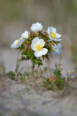 Witte bloemen van bloeiende duinroos (Rosa pimpinellifolia) op een zanderige duinhelling in het Noordhollands Duinreservaat bij Egmond aan den Hoef
