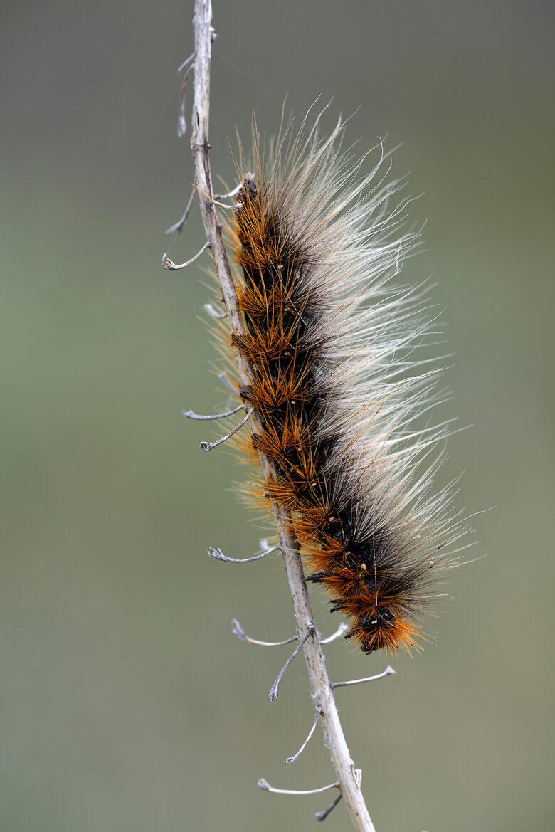 Rups van de nachtvlinder Grote beer (Arctia caja) vastgeklemd op een tak van duindoorn in het Nationaal Park Duinen van Texel.