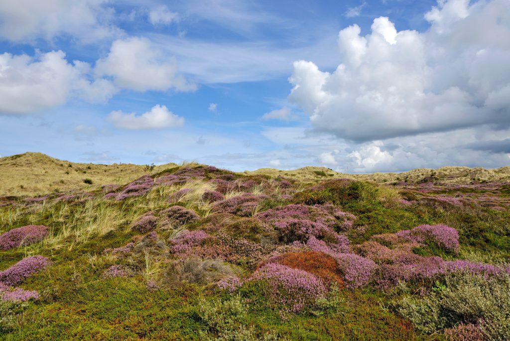 Paarse pollen met bloeiende struikhei (Calluna vulgaris) verspreid over het duinlandschap van de Schoorlse Duinen.