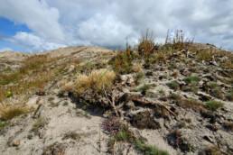 Heide en grassen grijpen hun kans op de kale, zanderige duinhellingen na de duinbranden en kap van bomen in de Schoorlse Duinen.