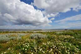 Hollandse wolkenluchten boven bloeiende reukeloze kamille op kwelder van het Kooyhoekschor in de Westelijke Waddenzee (Balgzand) bij Den Helder