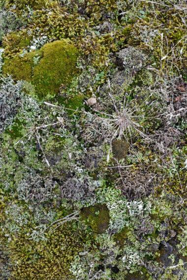 Verzameling (korst)mossen op de kale, zanderige duinhellingen in de Noordduinen bij Julianadorp aan Zee.