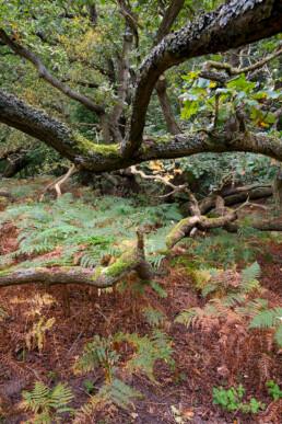 Slingerende, met mossen bedekte takken van eik tussen een zee van varens in het bos van de Amsterdamse Waterleidingduinen bij Vogelenzang.