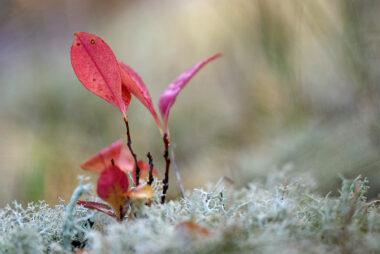 Rood verkleurd blad van een spruit van Amerikaanse Vogelkers (Prunus serotina) tussen rendiermos in de Schoorlse Duinen.