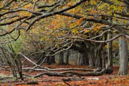 Bomenlaan van paardenkastanje (Aesculus) met verkleurd blad tijdens herfst in het duinbos van Nationaal Park Zuid-Kennemerland bij Santpoort-Nooord.