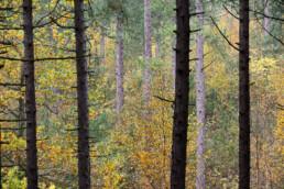 Doorkijkje tussen boomstammen in naaldbos naar verkleurde bladeren tijdens herfst van de Schoorlse Duinen.