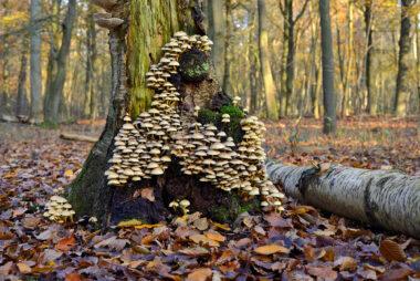 Grote groep gewone zwavelkop (Hypholoma fasciculare) aan de voet van een dode boom in het bos van Buitenplaats Leyduin in Heemstede.