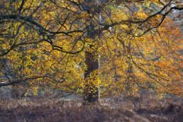 Zon schijnt op het oranjegele blad van een grote beuk (Fagus sylvatica) tijdens herfst op Buitenplaats Leyduin in Heemstede.