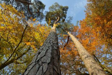 Twee naaldbomen strekken zich uit naar blauwe lucht tussen gele en oranje bladeren van herfstbos op Buitenplaats Leyduin in Heemstede.
