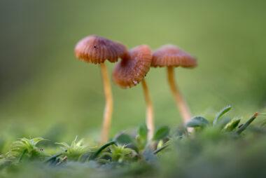 Drie kleine, bruine zwammetjes tijdens herfst in de duingraslanden van het Noordhollands Duinreservaat bij Heemskerk.