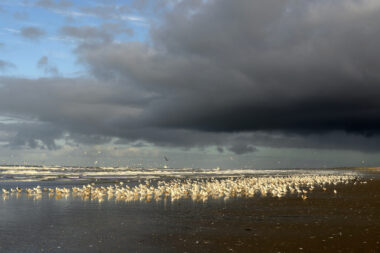 Donkere wolken van naderende regenbui boven grote groep rustende meeuwen langs de vloedlijn op het strand van Wijk aan Zee