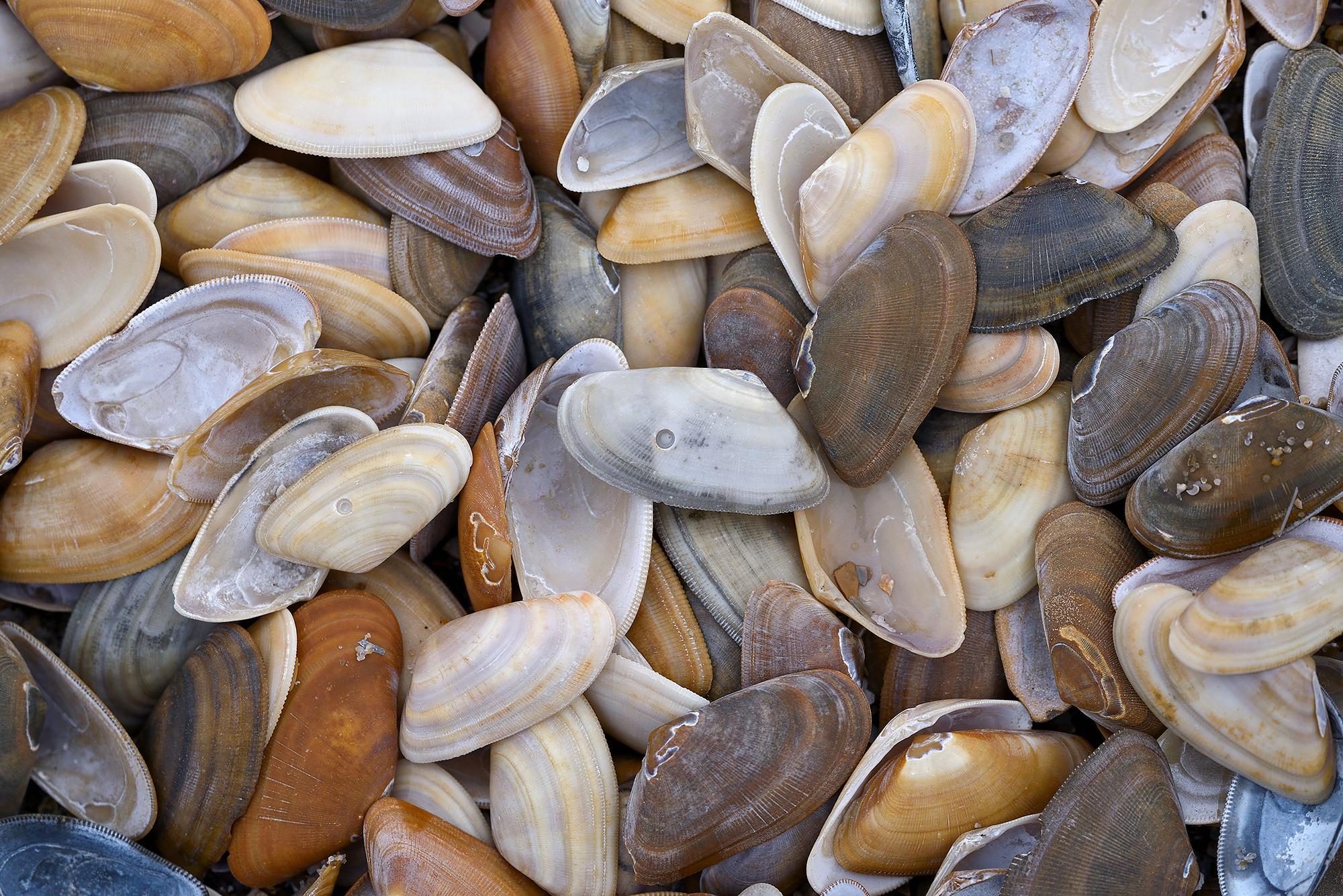 Aangespoelde schelpen van zaagje (Donax vittatus) langs de vloedlijn op het strand van Hargen aan Zee.