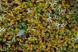Bruingroene stengels van duinklauwtjesmos (Hypnum cupressiforme) in de duinen van het Zwanenwater bij Callantsoog.