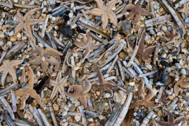 Aangespoelde schelpen, slangsterren, krabben en zeesterren langs de vloedlijn na een storm op het strand van Heemskerk.
