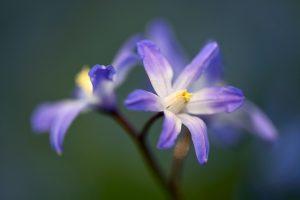 Blauwe bloemen van grote sneeuwroem (Scilla siehei) in het vroege voorjaar op Landgoed Elswout in Overveen.