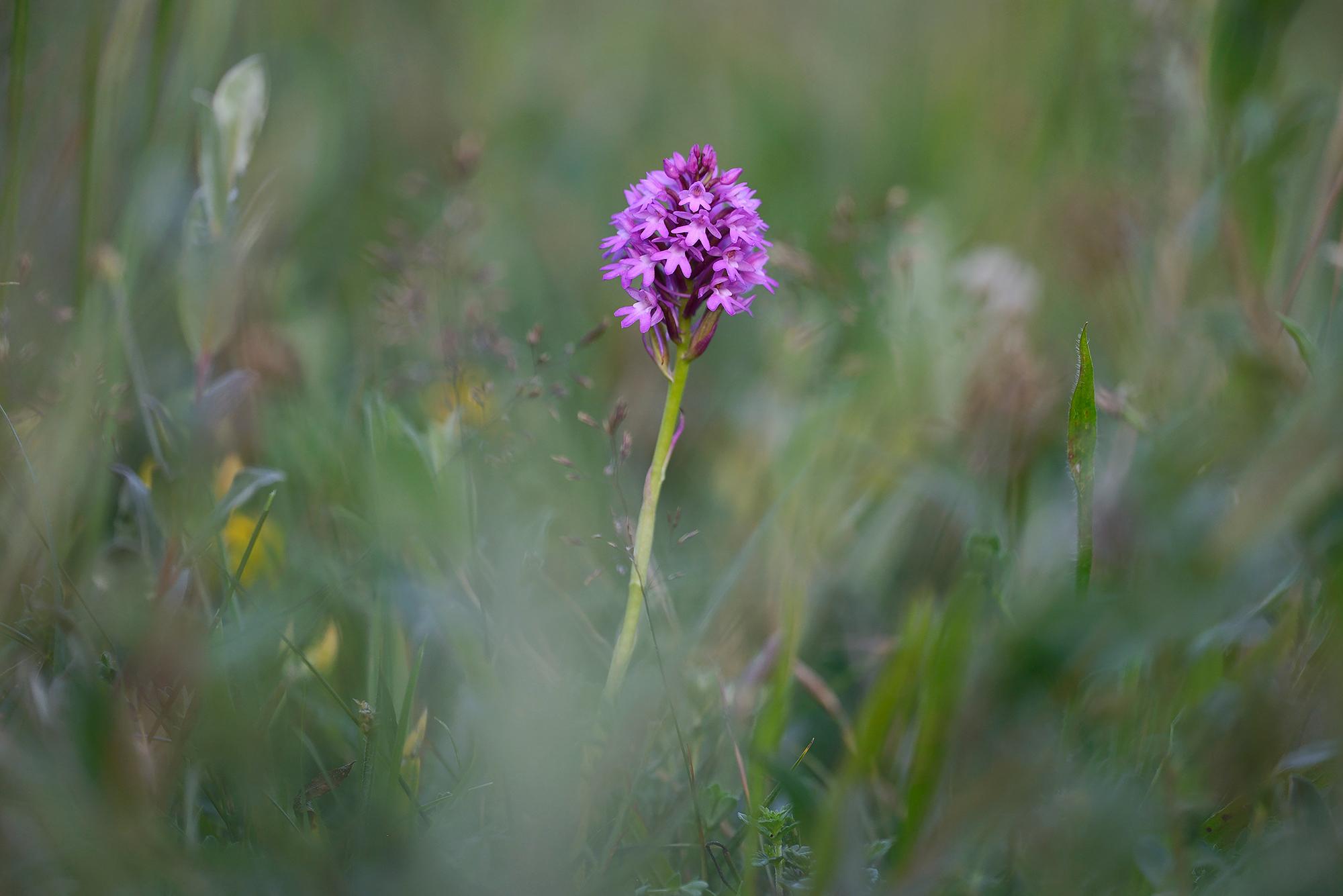 Roze bloemen van de orchidee hondskruid (Anacamptis pyramidalis) in het zeedorpenlandschap van het Noordhollands Duinreservaat bij Wijk aan Zee.