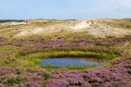 Zanderige duinhellingen en paarse bloemen van bloeiende heide rondom poel in de Bollekamer van Nationaal Park Duinen van Texel bij Den Hoorn