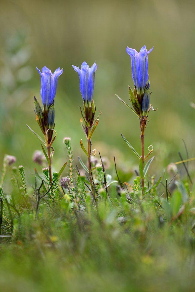 Drie klokjesgentiaan (Gentiana pneumonanthe) naast elkaar in een nat heideveld van het Nationaal Park Duinen van Texel