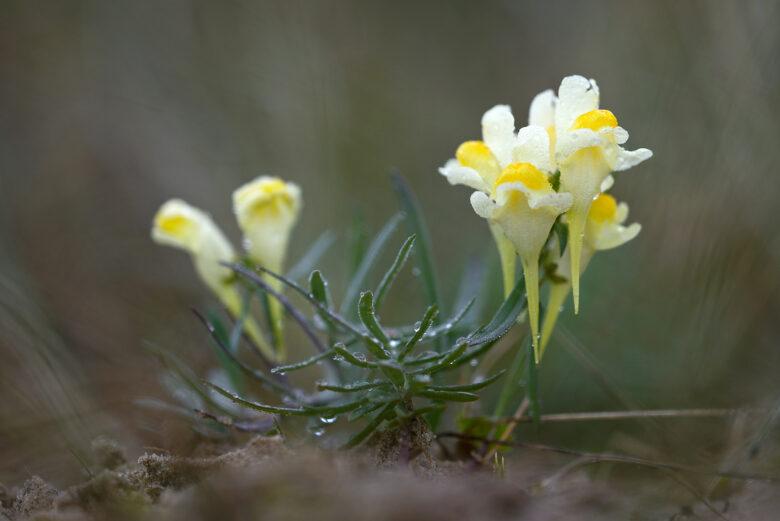 Geelwitte, trechtervormige bloemen van vlasbekje (Linaria vulgaris) in het duingrasland van het Noordhollands Duinreservaat bij Heemskerk.