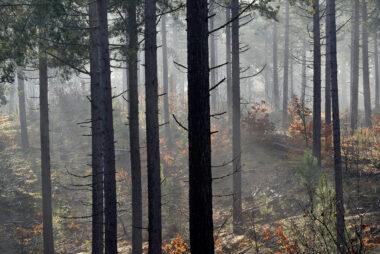 Zonnestralen schijnen door mist en silhouetten van naaldbomen tijdens zonsopkomst in het naaldbos van de Schoorlse Duinen.
