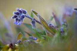 Behaarde stengel en lichtblauwe bloemen van ruw vergeet-me-nietje (Myosotis ramosissima) tijdens lente in het Noordhollands Duinreservaat bij Bakkum.