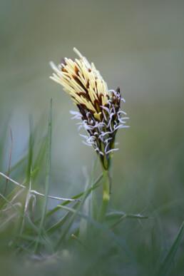 Bloeiende voorjaarszegge (Carex caryophyllea) tussen het gras van de duingraslanden in het Noordhollands Duinreservaat bij Bakkum.
