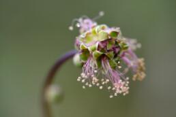 Bloemhoofd en meeldraden van kleine pimpernel (Poterium sanguisorba) in het Nationaal Park Zuid-Kennemerland bij Santpoort-Noord