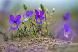 Paarsblauwe bloemen van duinviooltje (Viola curtisii) op zanderige duinhelling in het Nationaal Park Zuid-Kennemerland bij Santpoort-Noord.