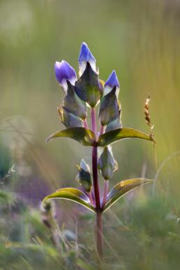Steel en paarse bloemen van veldgentiaan (Gentianella campestris) in een natte duinvallei in het Noordhollands Duinreservaat bij Heemskerk