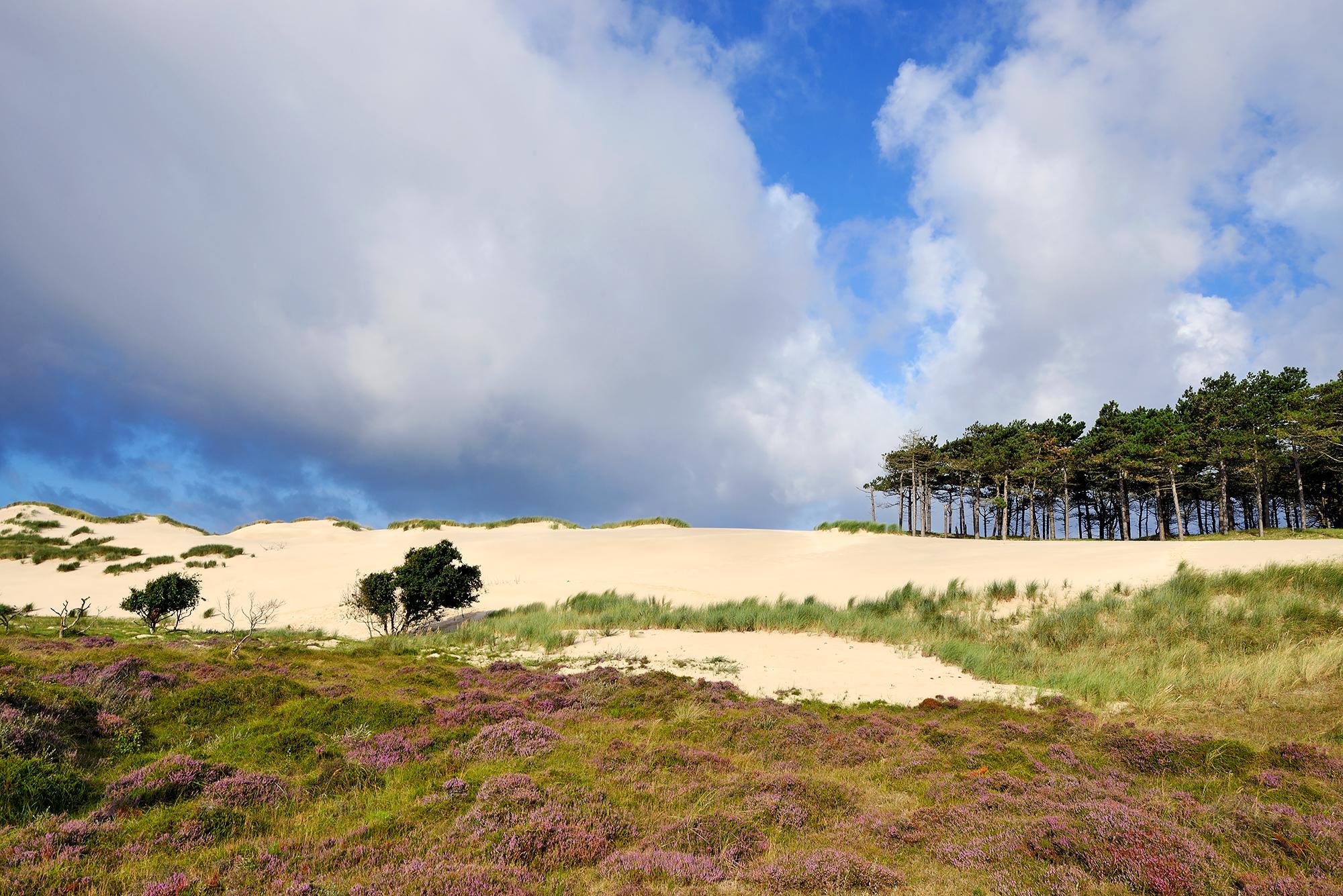 Heide en naaldbomen bij groot stuifduin 'Schildduin' in het Buizerdvlak van het Noordhollands Duinreservaat bij Bergen aan Zee.